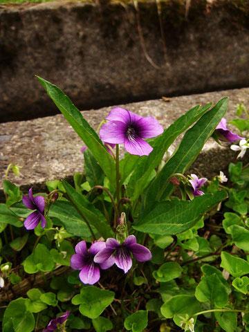 写真9 スミレ (菫) スミレ科 ミヤマスミレ類