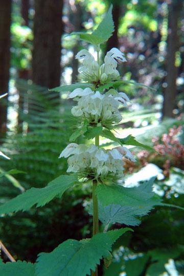 オドリコソウ (踊り子草)  豪華な印象の花です