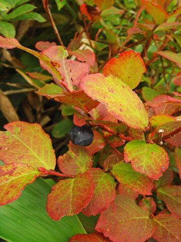 オオバスノキ (大葉酢の木) 紅葉と果実