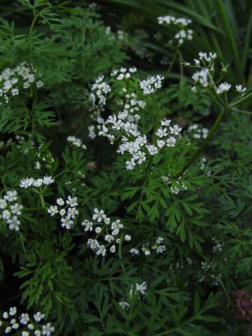 このセリ科の花は...?→ミヤマセントウソウでした!