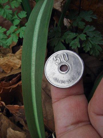 ヒロハノアマナ 50円玉(直径20mm)と比較