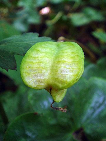 カタクリの果実。蟻を誘う物質を持ち巣に運ばれます