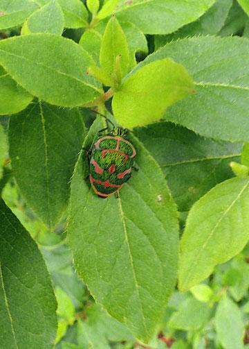 アカスジキンカメムシ (赤条金亀虫) キンカメムシ科  2010.05.29 群馬県利根郡月