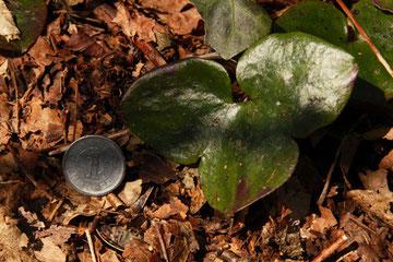 オオミスミソウの葉大きいね
