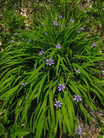 ゲレンデのあちこちにこんな風にヒメシャガが咲く