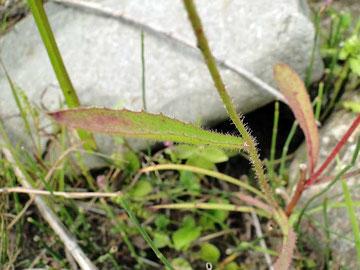 カワラニガナ 2010.09.12 長野県諏訪郡