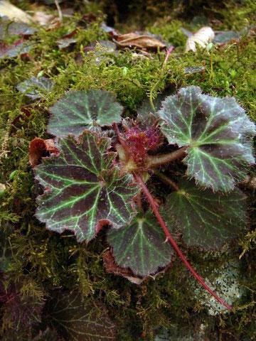 ホザキユキノシタの葉
