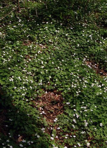 山肌に咲き乱れるニリンソウ