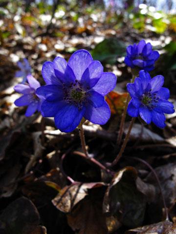 オオミスミソウ 濃い紫実物はもっと美しいよ