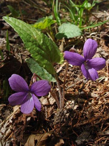 サクラスミレ  2011.05.20 群馬県 六合村