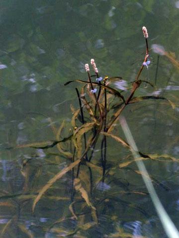 ホソバヒルムシロ  水面下の様子も見える