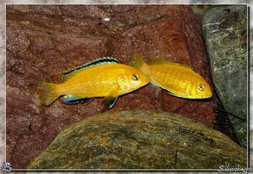 Jeune couple de Labidochromis caeruleus