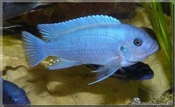 Mâle B (bleu)