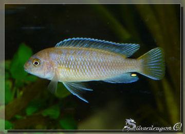 Jeune mâle en cours de coloration
