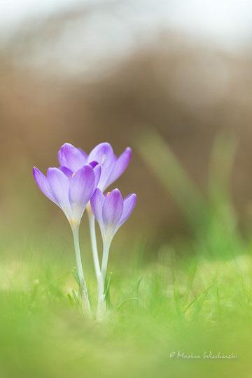 Frühlings-Krokus (Crocus vernus)