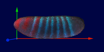 Expression of early segmentation genes eve and gt in a Drosophila embryo visualized from a model produced in PointCloudToolbox
