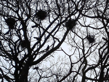 A Rookery. Photograph by amandabhslater, Amanda Slater on flickr reusable under Creative Commons Licence: Attribution-Share Alike 2.0 Generic. See Acknowledgements for a link to the flickr website.