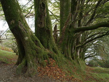 A line of ancient beeches (not in Birmingham). Image by Derek Harper on Geograph reusable under Creative Commons licence Attribution-Share Alike 2.0. OS reference SX5591. See Acknowledgements.