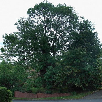A former hedgerow ash, some 200 years old, in a modern housing estate.