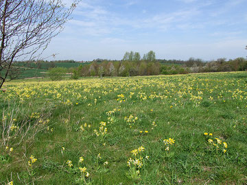 Image of cowslips in Cambridgeshire by Ethelfleda/ Caroline on flickr reusable under Creative Commons Licence: Attribution-Non-Commercial-No Derivative Works 2.0 Generic