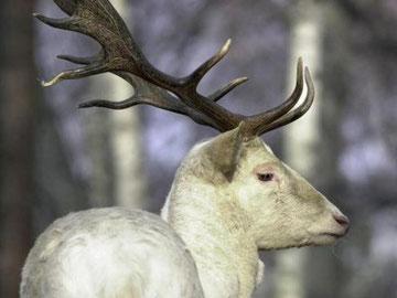 Ein weißer Damhirsch mit dem charakteristischen Schaufelgeweih, aufgenommen im Kurpark Dresden. Im Raunheimer Wald gibt es nun nur noch zwei weiße Hirsche. Archivfoto: dpa