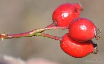 Rosa micrantha - Kleinblütige Rose - Rosier à petites fleures - Rosa balsamina minore - Wildrosen - Wildsträucher - Heckensträucher - Artenvielfalt - Ökologie - Biodiversität - Wildrose