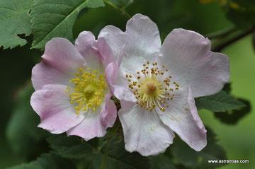 Rosa caesia - Rosa coriifolia - Lederblättrige Rose - Rosier à feuilles coriaces - Rosa a foglie coriacee - Wildrosen - Wildsträucher - Heckensträucher - Artenvielfalt-Ökologie-Biodiversität-Wildrose