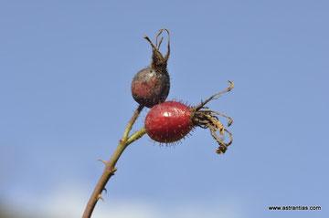 Rosa pseudoscabriuscula-Rosa scabriuscula-Kratz-Rose-Rosier pseudoscabriuscule-Rosa pseudoscabriuscula - Wildrosen - Wildsträucher - Heckensträucher - Artenvielfalt - Ökologie-Biodiversität -Wildrose