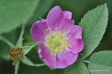 Rosa gallica - Rosa austriaca - Essigrose - Rosier de France - Rosa serpeggiante - Wildrosen - Wildsträucher - Heckensträucher - Artenvielfalt - Ökologie - Biodiversität - Wildrose