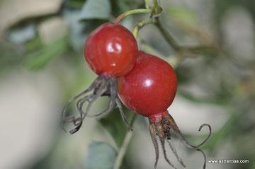 Rosa majalis - Rosa cinnamomea - Zimt-Rose - Mai-Rose - Rosier cannelle - Rosa cannella - Wildrosen - Wildsträucher - Heckensträucher - Artenvielfalt - Ökologie - Biodiversität - Wildrose