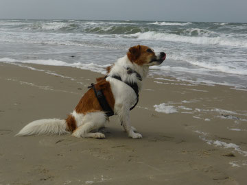 Baju - 4 Jahre alt, am Strand auf Texel