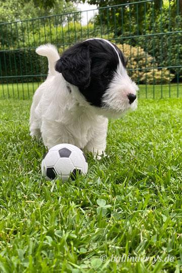 Irish Terrier Welpen Ballinderrys Hugh