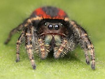 Springspinne (Salticidae)