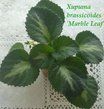 Хирита brassicoides 'Marble Leaf'
