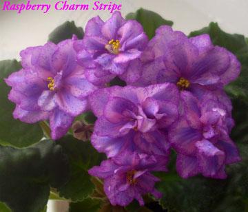 Raspberry Charm Stripe (J.Eyerdom)