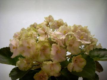 Rob's Antique Rose (R.Robinson)