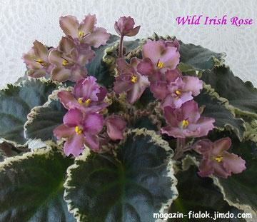 Wild Irish Rose (Sorano)