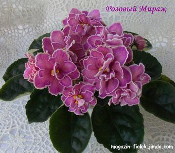Розовый Мираж (сеянец)