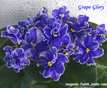 Grape Glory( LLG)