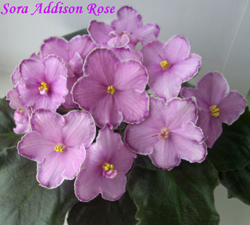Sora Addison Rose (B.Werness)
