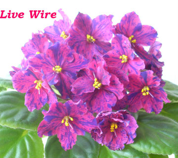 Live Wire (LLG)