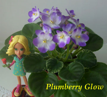 Plumberry Glow (LLG/Sorano)