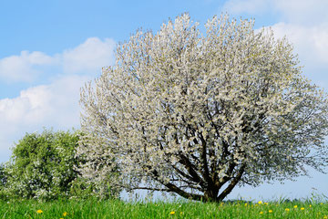 Obstler Schnaps, Williams, online kaufen, Streuobst