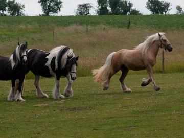 Maible in Aktion: Sie läuft voraus um zu schauen, wer die fremden Pferde auf der anderen Seites des Zaunes sind...  Foto: Andreas Kögel