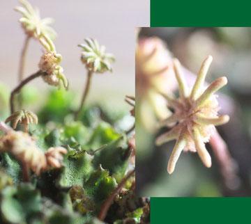 Gemeines Brunnenlebermoos (weibliche Pflanzen von Marchantia polymorpha)