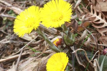 Huflattich (Tussilago farfara)