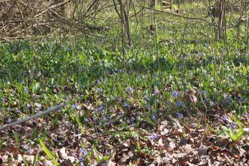 Auwaldboden - bedeckt mit Scilla bifolia zwischen Bärlauchblättern