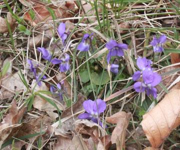 Rauhaariges Veilchen (Viola hirta) 23.03.14