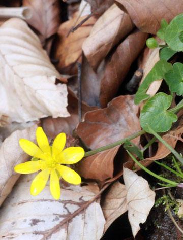 Scharbockskraut (Ranunculus ficaria) im Albtal zwischen Fischweier und Neurod