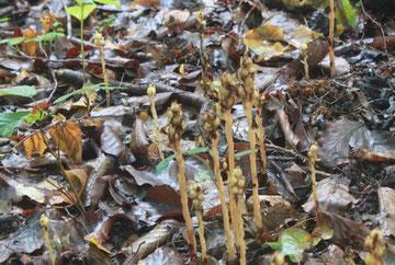 Echter Fichtenspargel (Monotropa hypopitys ssp. hypoptys)